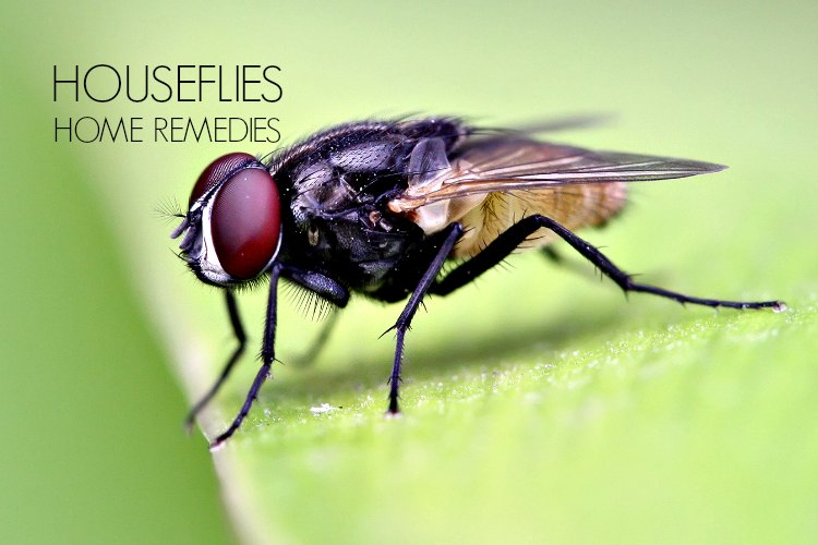 16 Home Remedies To Get Rid Of House Flies And Keep Them Away