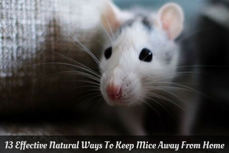 Natural Home Remedies To Get Rid Of Rats
