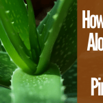 How To Use Aloe Vera For Pimples(1)