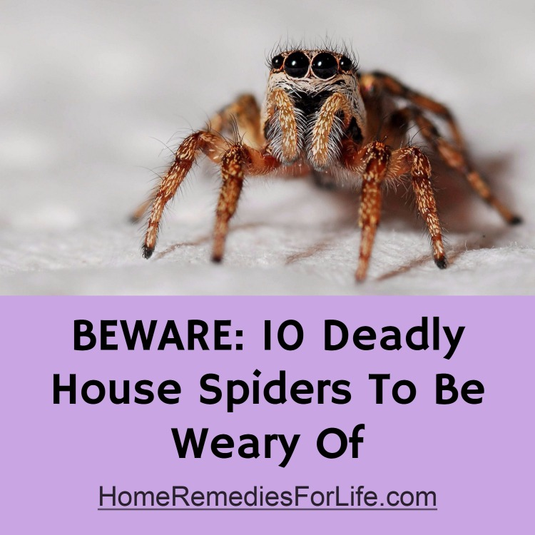 Beware 10 Deadly House Spiders To Be Wary Of Infographic