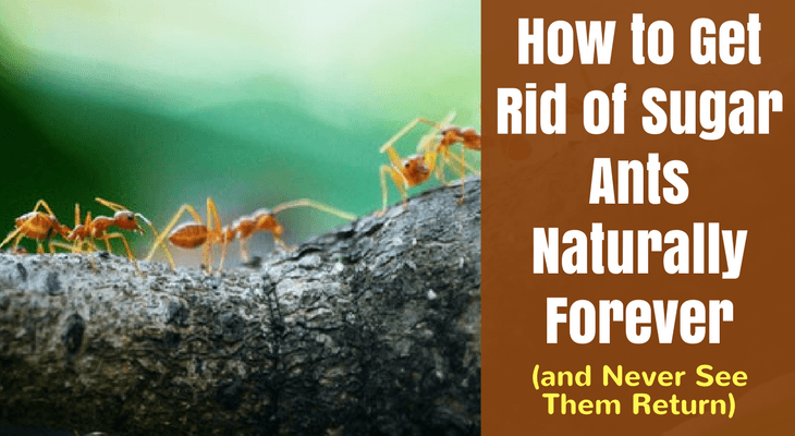 How Do I Get Rid Of Sugar Ants Naturally