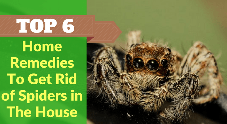 Top 6 Home Remedies To Get Rid of Spiders in The House