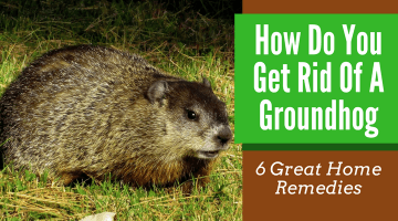 How Do You Get Rid Of A Groundhog (6 Great Home Remedies)
