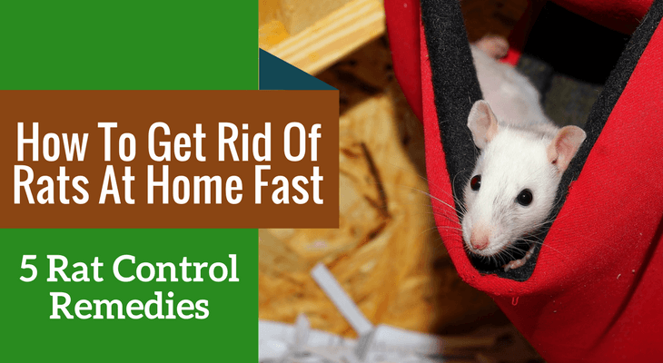 How To Get Rid Of Rats At Home Fast