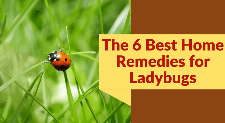 The 6 Best Home Remedies for Ladybugs
